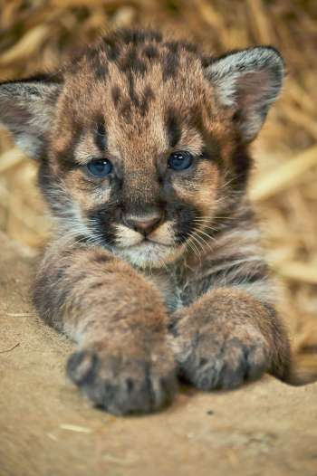 tinybaby cougar (1)
