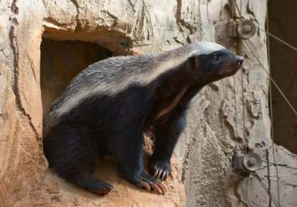 tinyhoney badger (1)